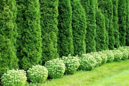 Живые изгороди в Краснодаре